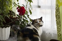 Beautiful calico cat sits near red geraniums on window. Beautiful calico cat sits near pot of red geraniums in window royalty free stock images