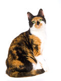 Beautiful Calico cat on white background. Pretty calico cat sitting on white background royalty free stock photo