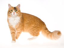 Beautiful Calico cat on white background Stock Photos