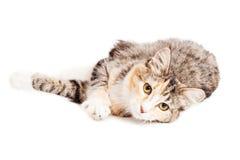 Beautiful Calico Kitty Laying Looking Forward Stock Photos