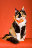 Beautiful calico Maine Coon on orange background royalty free stock photography