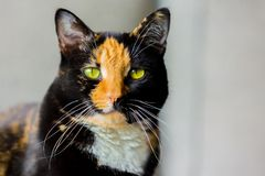 Beautiful calico tortoiseshell tabby cat sitting on a couch Stock Image