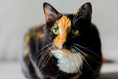 Beautiful calico tortoiseshell tabby cat sitting on a couch Royalty Free Stock Photography