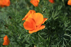 Beautiful California poppies (Eschscholzia californica) in bloom. Eschscholzia in the garden in summer time Royalty Free Stock Photography