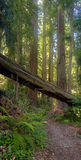 Beautiful California Redwood Forest Stock Photos