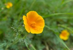 Beautiful Californian poppy Royalty Free Stock Images