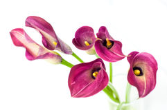 Beautiful calla flower. On whire background Royalty Free Stock Photography