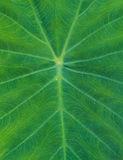 Beautiful Calla leaf texture Stock Image