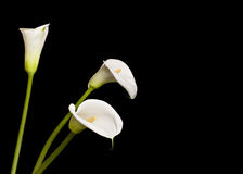 Beautiful calla lilies Stock Photography