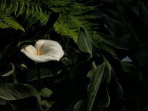 Beautiful calla lilies, white flower with green leaf stock photography