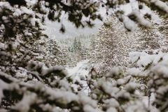 Beautiful Calm and Peaceful Frozen Cold Winter Season Snow in Breckenridge Colorado Landscape Scene of Fir Pine Trees in Outdoor N. Chilly Fresh Mountain Air in stock photography