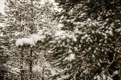 Beautiful Calm and Peaceful Frozen Cold Winter Season Snow in Breckenridge Colorado Landscape Scene of Fir Pine Trees in Outdoor N. Chilly Fresh Mountain Air in royalty free stock photography