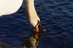 Beautiful calm swan is drinking the water Stock Photos