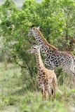 Beautiful calves of Giraffe Royalty Free Stock Photo