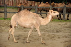 Beautiful Camel Stock Images