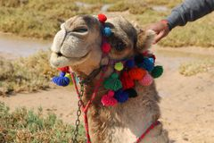 The beautiful camel Royalty Free Stock Photo