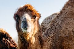 Beautiful camel head against the blue sky Stock Images