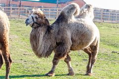 Beautiful camel head against the blue sky Stock Photography