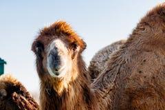Beautiful camel head against the blue sky Stock Photos