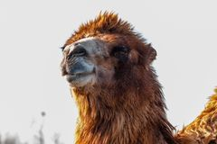 Beautiful camel head against the blue sky Royalty Free Stock Photo