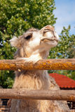 Beautiful camel in the zoo Stock Images