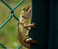 Beautiful Cameleon Stock Images