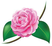 Beautiful Camellia Stock Image