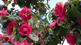 Beautiful camellia branches in bloom, footage stock video footage