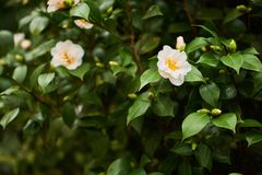 Beautiful camellia flowers blossom in botanic park stock image