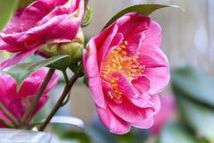 Beautiful Camellia Royalty Free Stock Photos