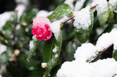 Beautiful camellia in snow Stock Images