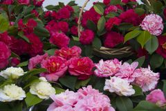 Beautiful Camellias blooming with dark green leaves. Selection of beautiful Camellias blooming with dark green leaves Royalty Free Stock Photo