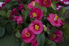 Beautiful Camellias blooming with dark green leaves. Royalty Free Stock Photo