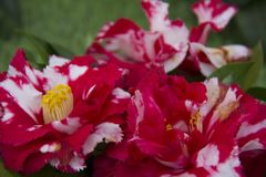 Beautiful Camellias blooming with dark green leaves. Stock Photography