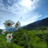 Beautiful camomile in Alps Royalty Free Stock Photo