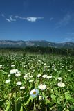 Beautiful camomile in Alps Stock Photography