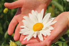 Beautiful camomile flower in the woman's hands Royalty Free Stock Image