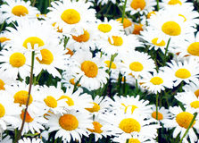 Beautiful camomile flowers Stock Image
