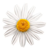Beautiful camomile on white background. Stock Photography