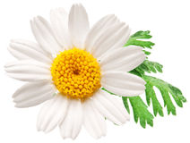 Beautiful camomile on white background. Stock Images