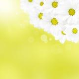 Beautiful camomile on yellow background Stock Photo