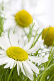 Beautiful camomiles Royalty Free Stock Images