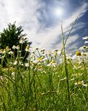 Beautiful camomiles against blue sky. Royalty Free Stock Images