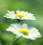 Beautiful camomiles on a green meadow Stock Image