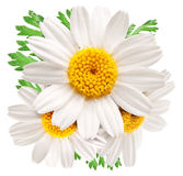 Beautiful camomiles on white background. Stock Photography