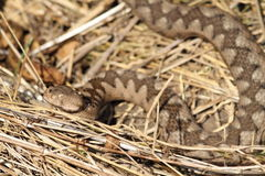 Beautiful camouflage pattern of vipera ammodytes Stock Images