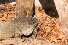 Beautiful camouflaged chameleon Stock Images