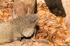 Beautiful camouflaged chameleon Stock Photography