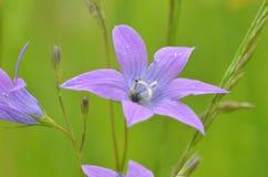 Beautiful Campanula rapunculoides bud close up stock photography
