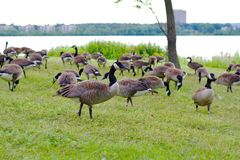 Beautiful Canada geese Royalty Free Stock Photos